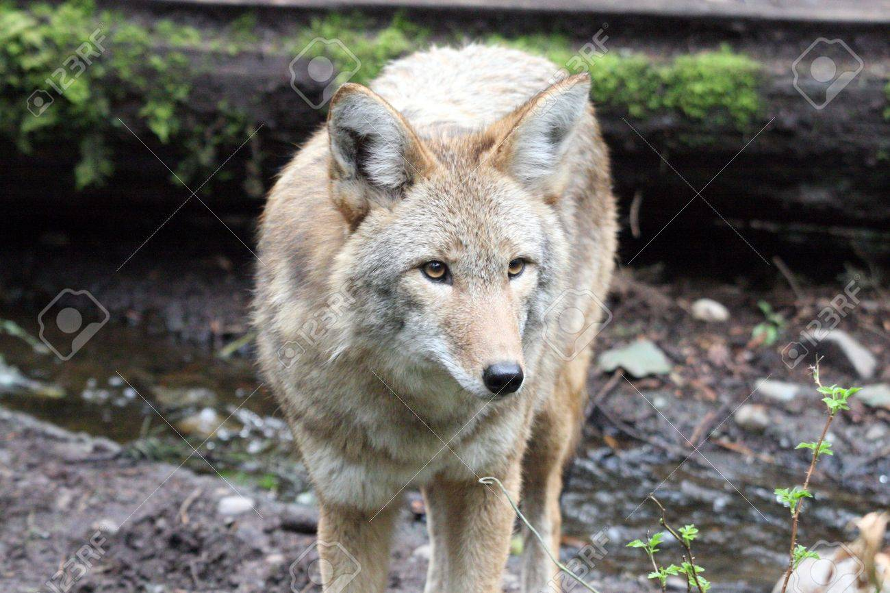 Coyote @ Northwest Trek Wildlife Park Stock Photo - 7616651
