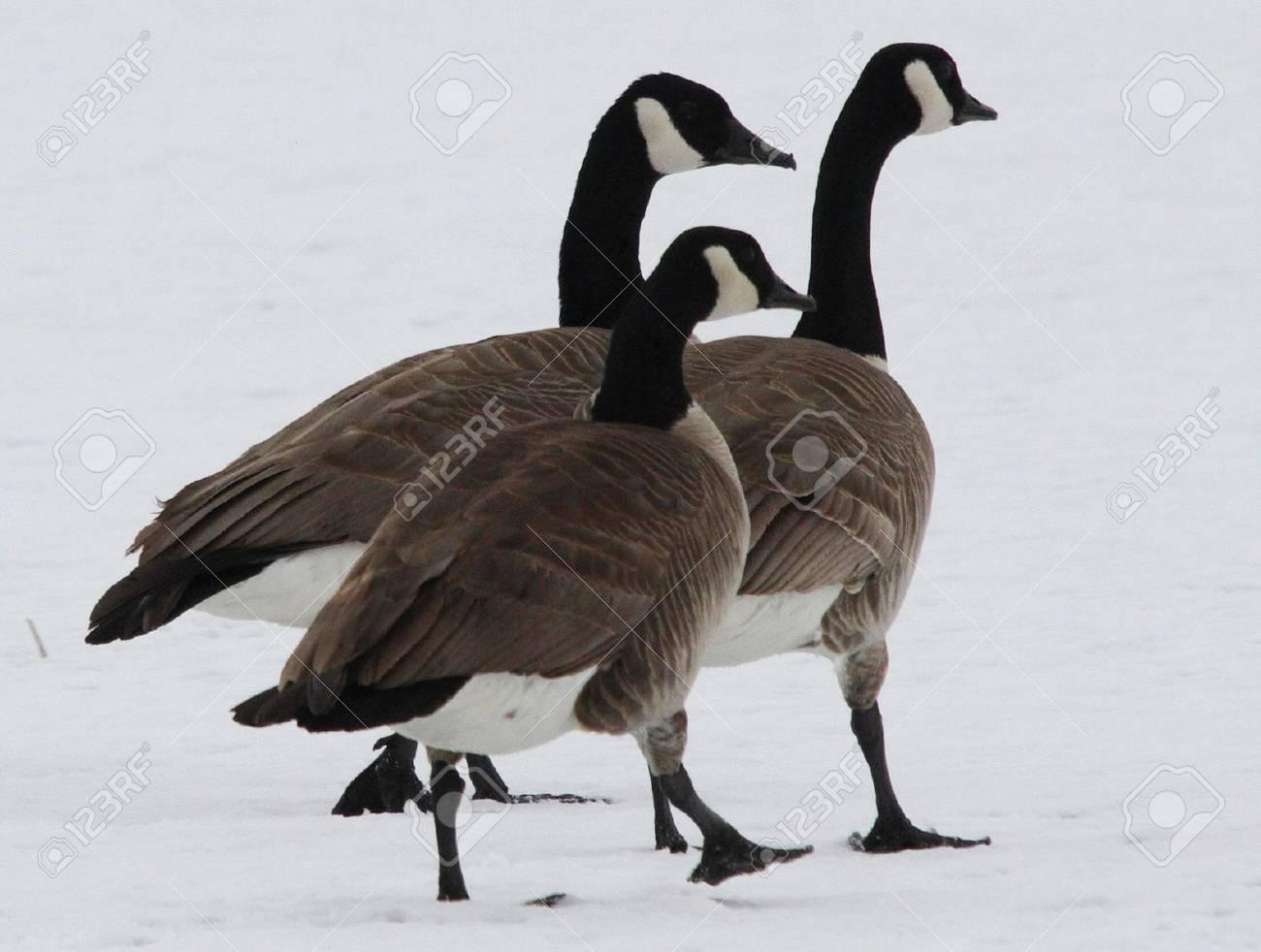 Canada Goose @ Lower Klamath National Wildlife Refuge Stock Photo - 7616661