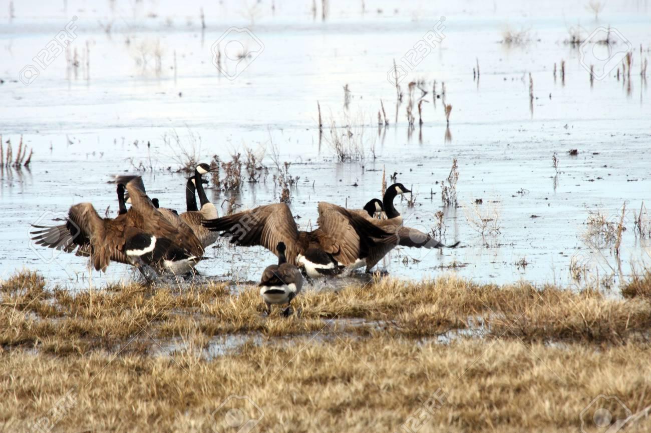Canada Goose @ Lower Klamath National Wildlife Refuge Stock Photo - 7690231