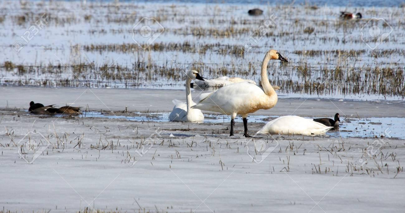 Tundra Swan.  Photo taken at Lower Klamath National Wildlife Refuge, CA. Stock Photo - 7735500