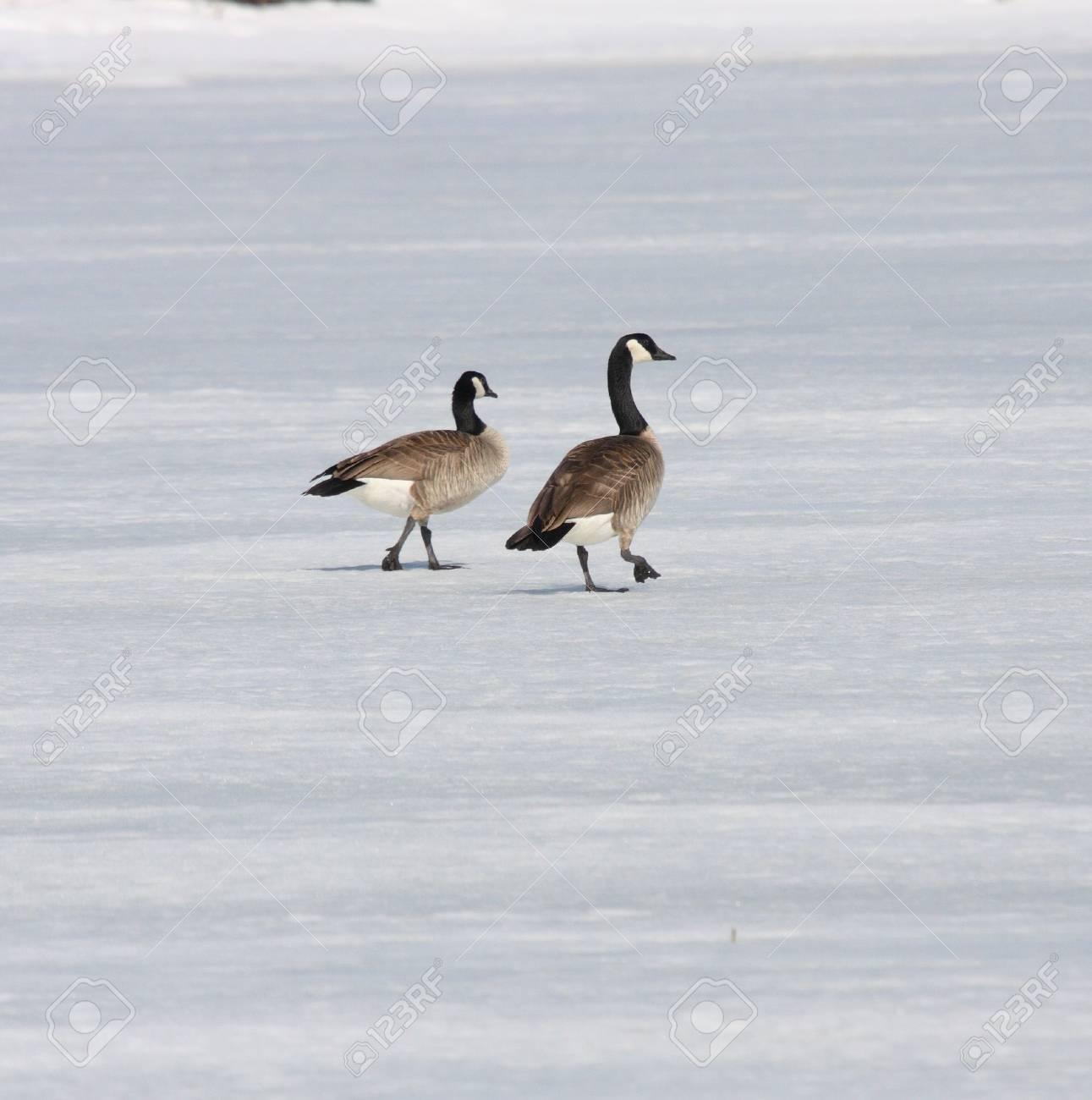 Canada Goose.  Photo taken at Lower Klamath National Wildlife Refuge, CA. Stock Photo - 7847602