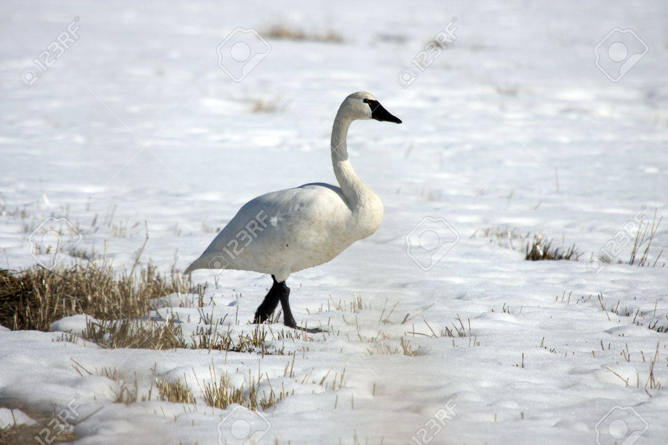 Tundra Swan.  Photo taken at Lower Klamath National Wildlife Refuge, CA. Stock Photo - 7847927