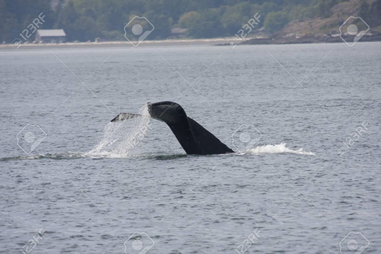 Humpback Whale (BCY0324)  Photo taken from Island Explorer 3