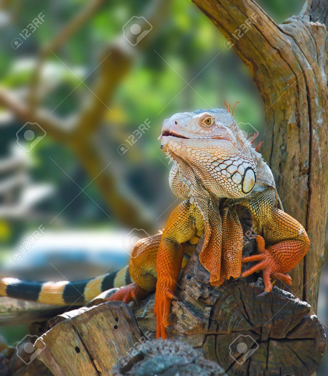 Iguana in the zoo - 11297924
