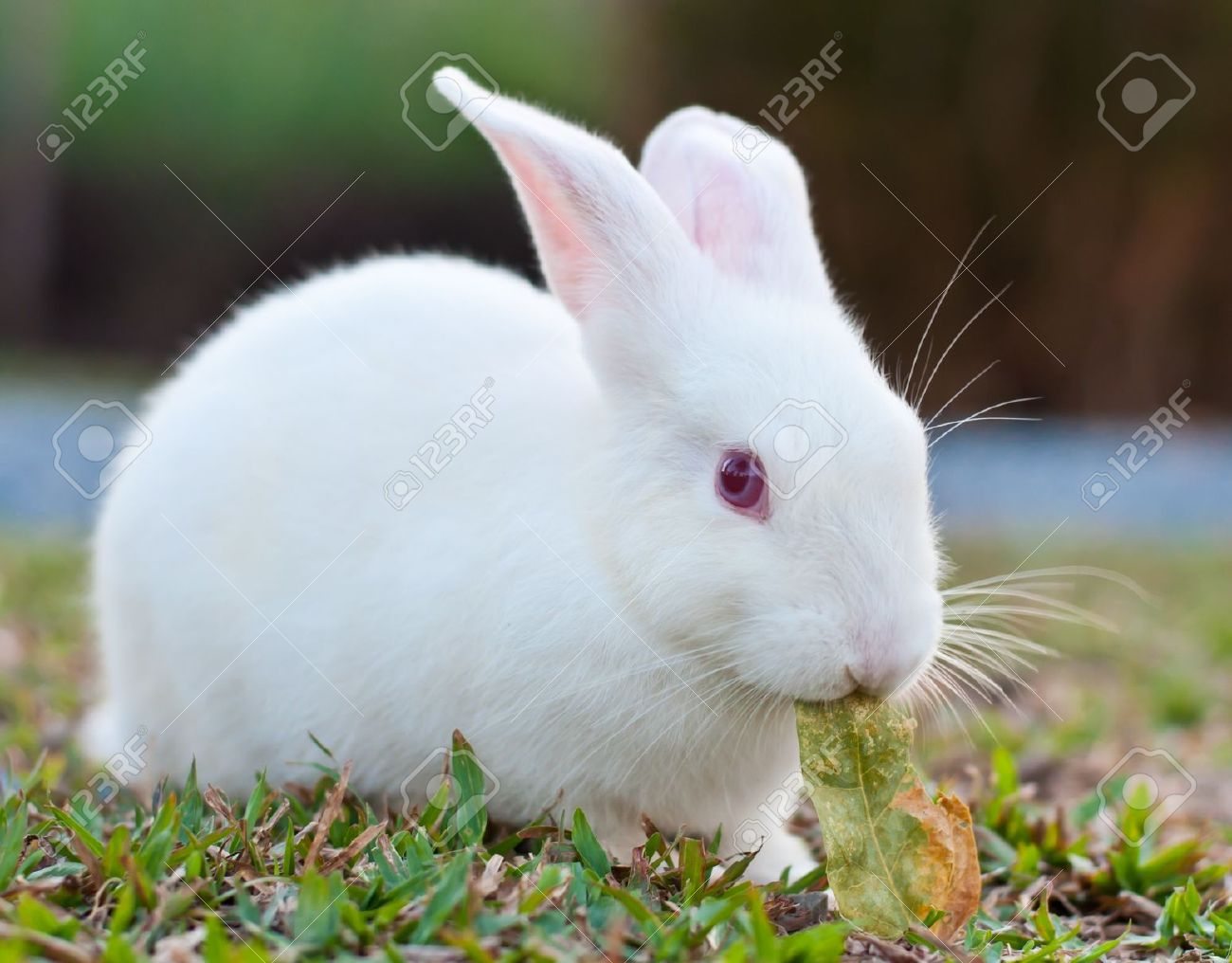 White Rabbit In The Farm Stock...