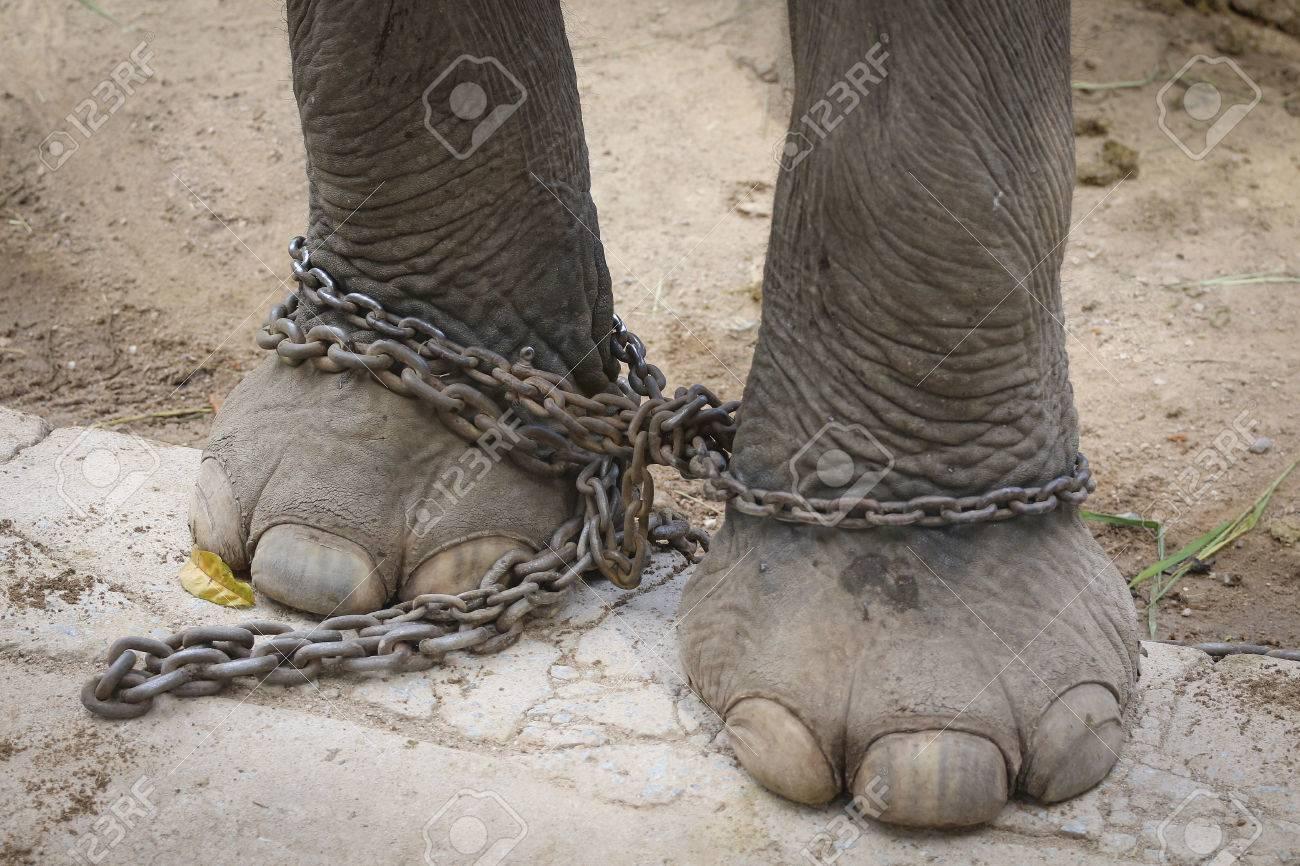 Big elephant in the zoo , Chonburi open zoo , Thailand - 24332601