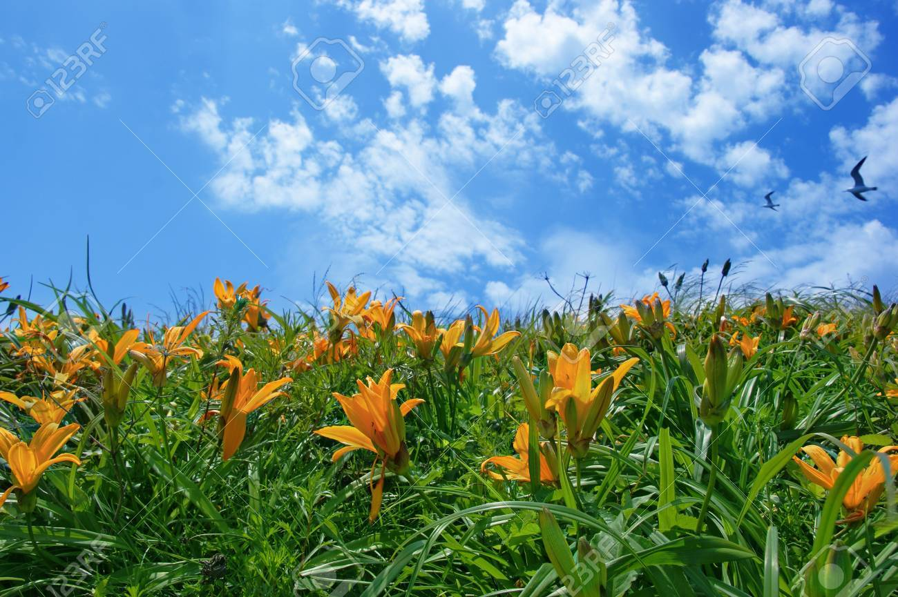 Meadow with lilies on the background of blue sky Stock Photo - 12876890