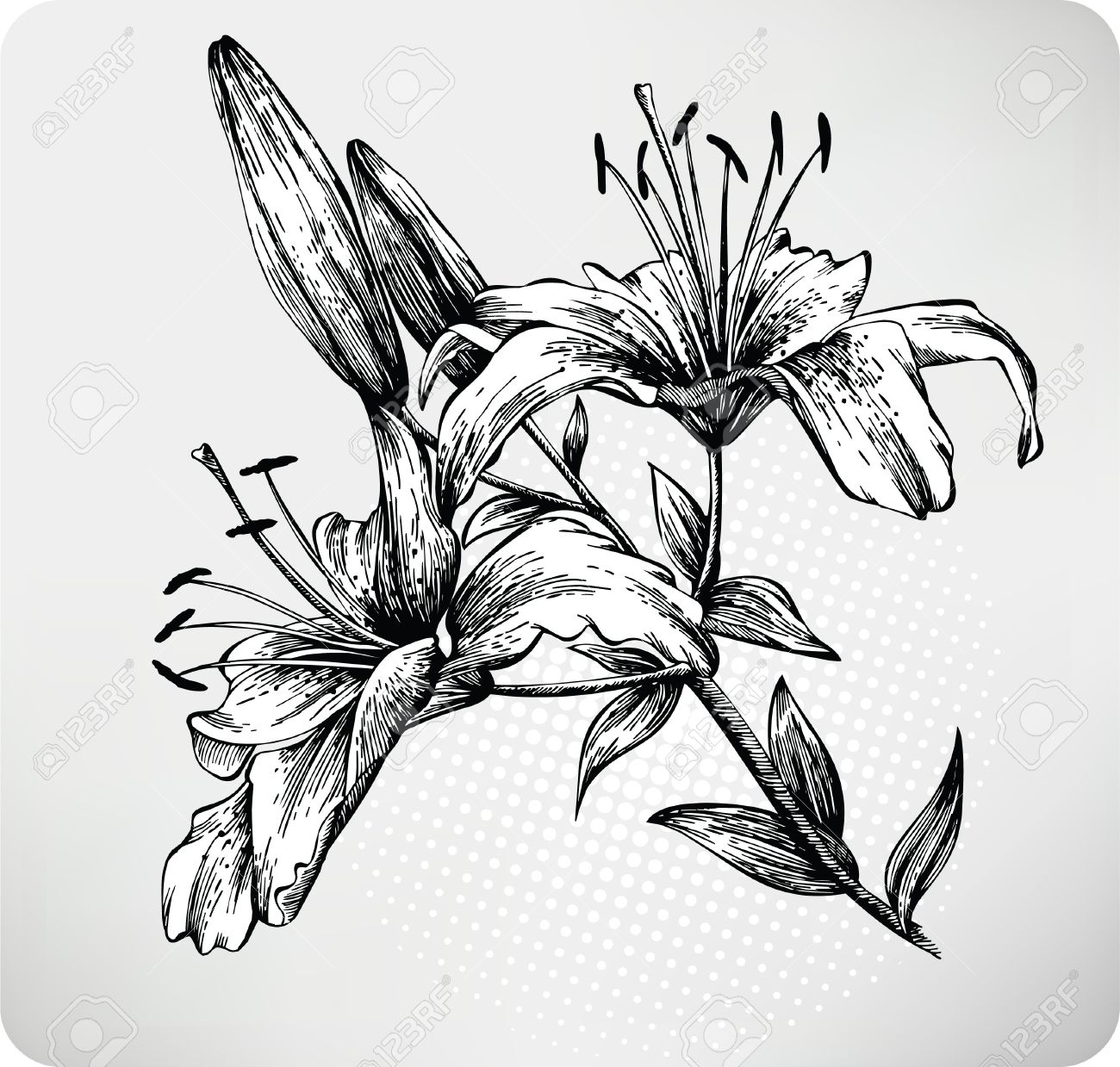 Blooming Tiger Lily Hand drawn Stock Vector - 11651089