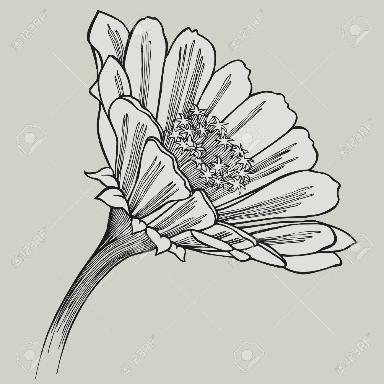 Zinnia Flower Hand Drawing Vector Illustration Royalty Free Cliparts Vectors And Stock Illustration Image 37455173