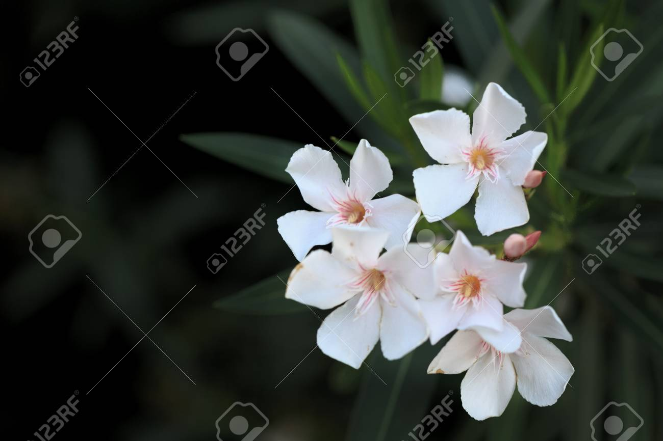 White Oleander Flowers With Black Background Stock Photo Picture