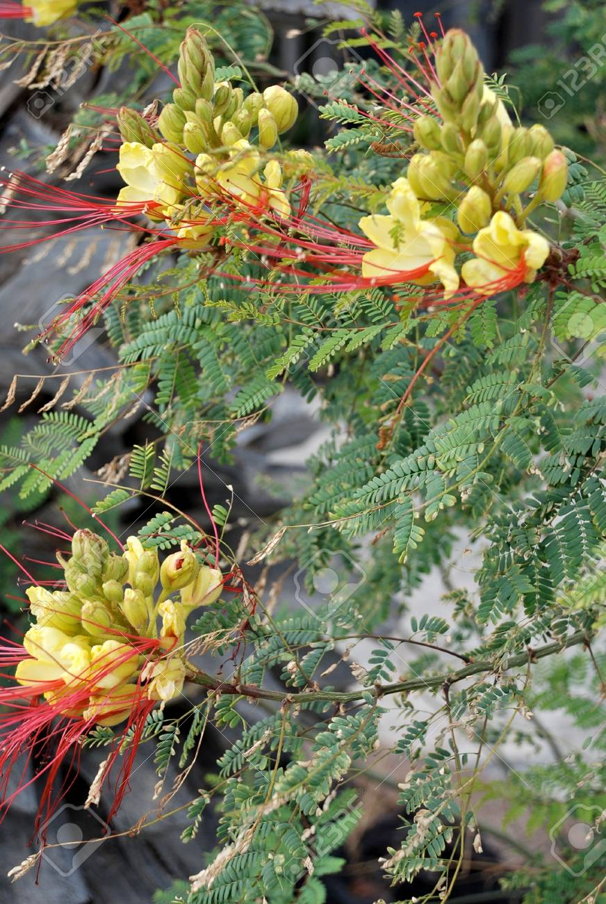 Yellow Bird Of Paradise Flowers Flowing Over Rocks Stock Photo