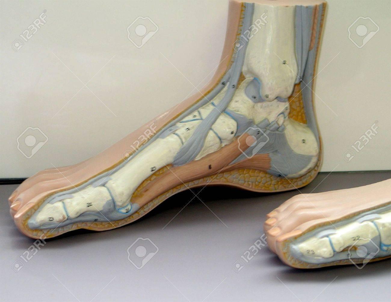 Anatomie Eines Fuß-und Sprunggelenk Lizenzfreie Fotos, Bilder Und ...
