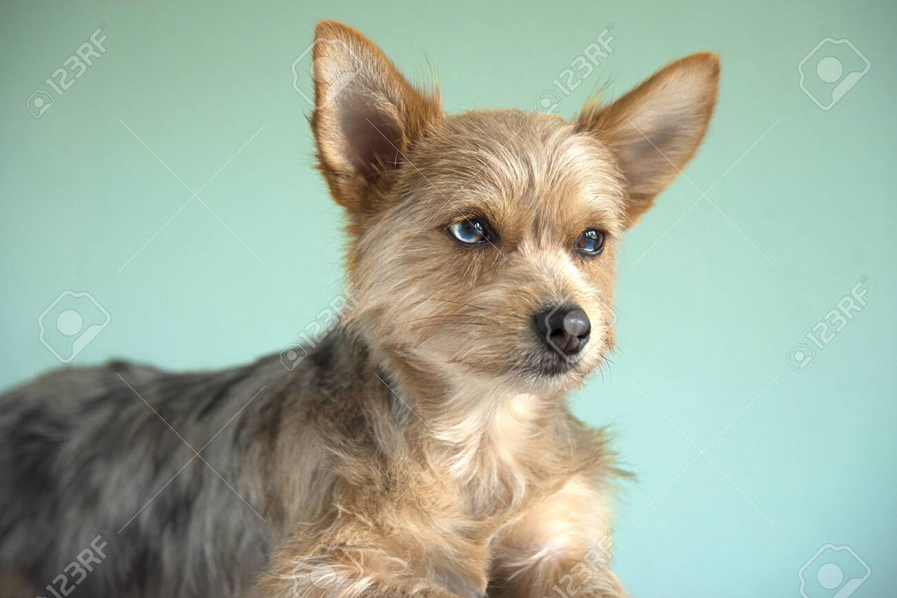 Cute Mix Bleu Merle Chihuahua And Yorkshire Terrier Puppy Dog Stock Photo Picture And Royalty Free Image Image 134266176