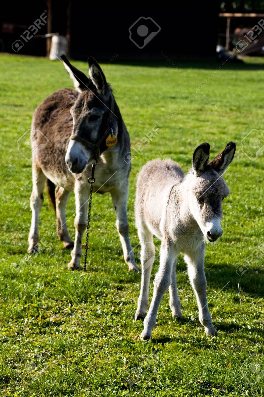 mom s ass and a small donkey on the green grass stock photo, picture