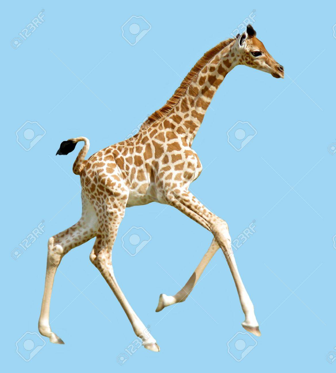Isolated Baby Giraffe Running Stock Photo Picture And Royalty Free