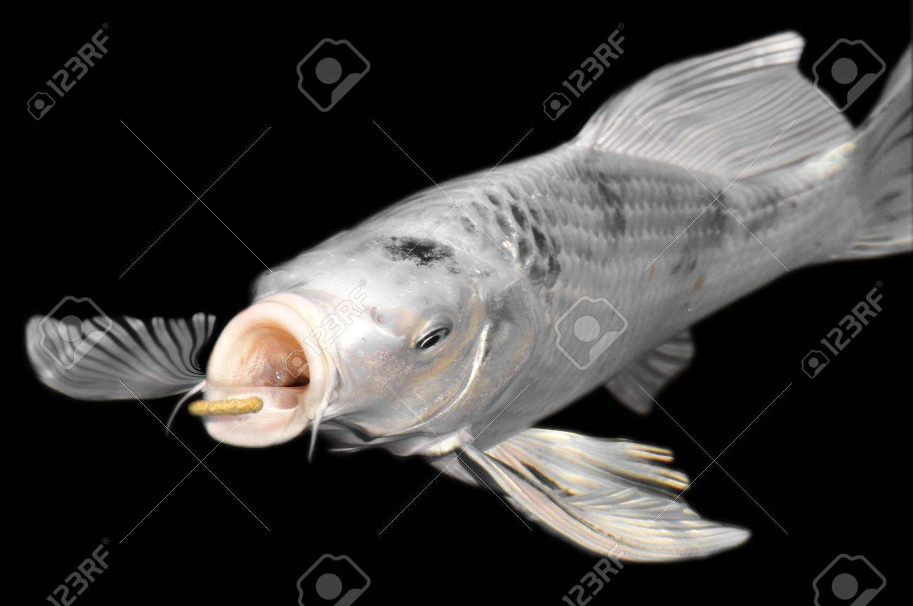 Closeup white carp koi (Cyprinus) feeding on black background Stock Photo - 6432639