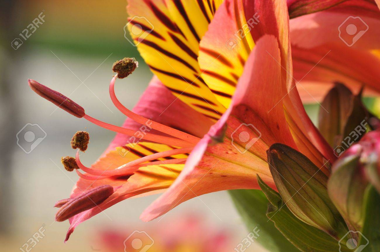 Macro Of Red And Yellow Peruvian Lily Flower Alstroemeria Aurantiaca Stock Photo Picture And Royalty Free Image Image 7923792