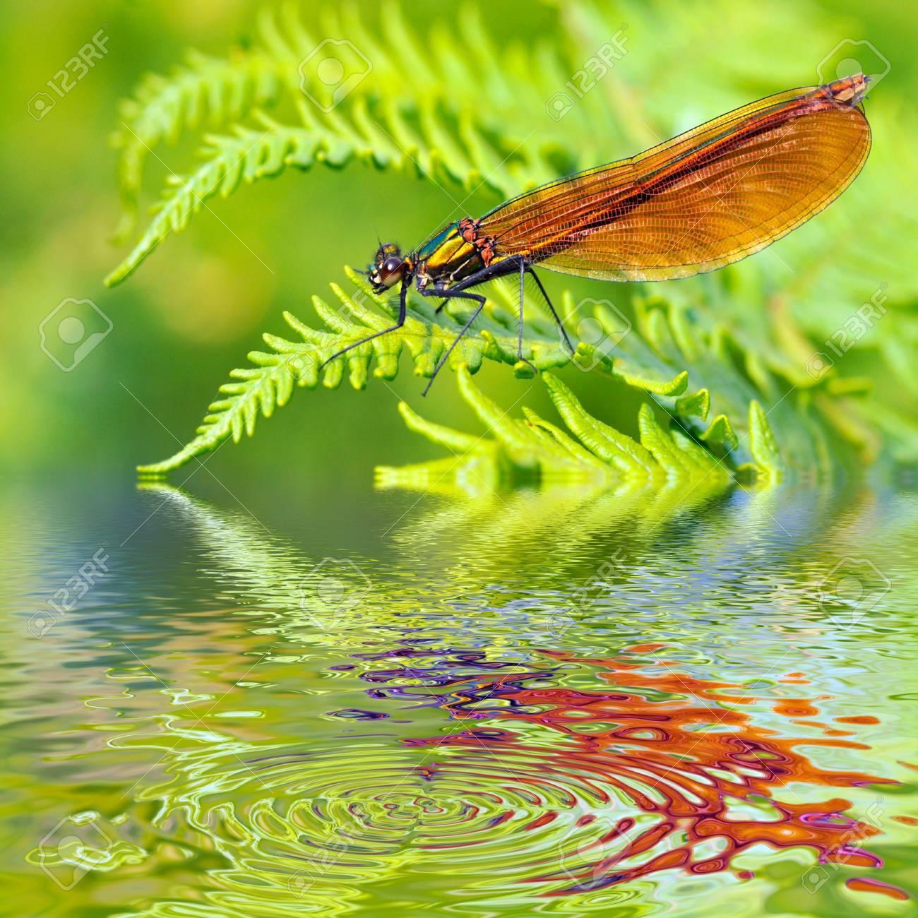 Macro De Demoiselle Femelle Calopteryx Virgo Vu De Profil Sur Feuille Fougere Au Dessus De Eau A Reflet Effet Numerique Banque D Images Et Photos Libres De Droits Image 8005969
