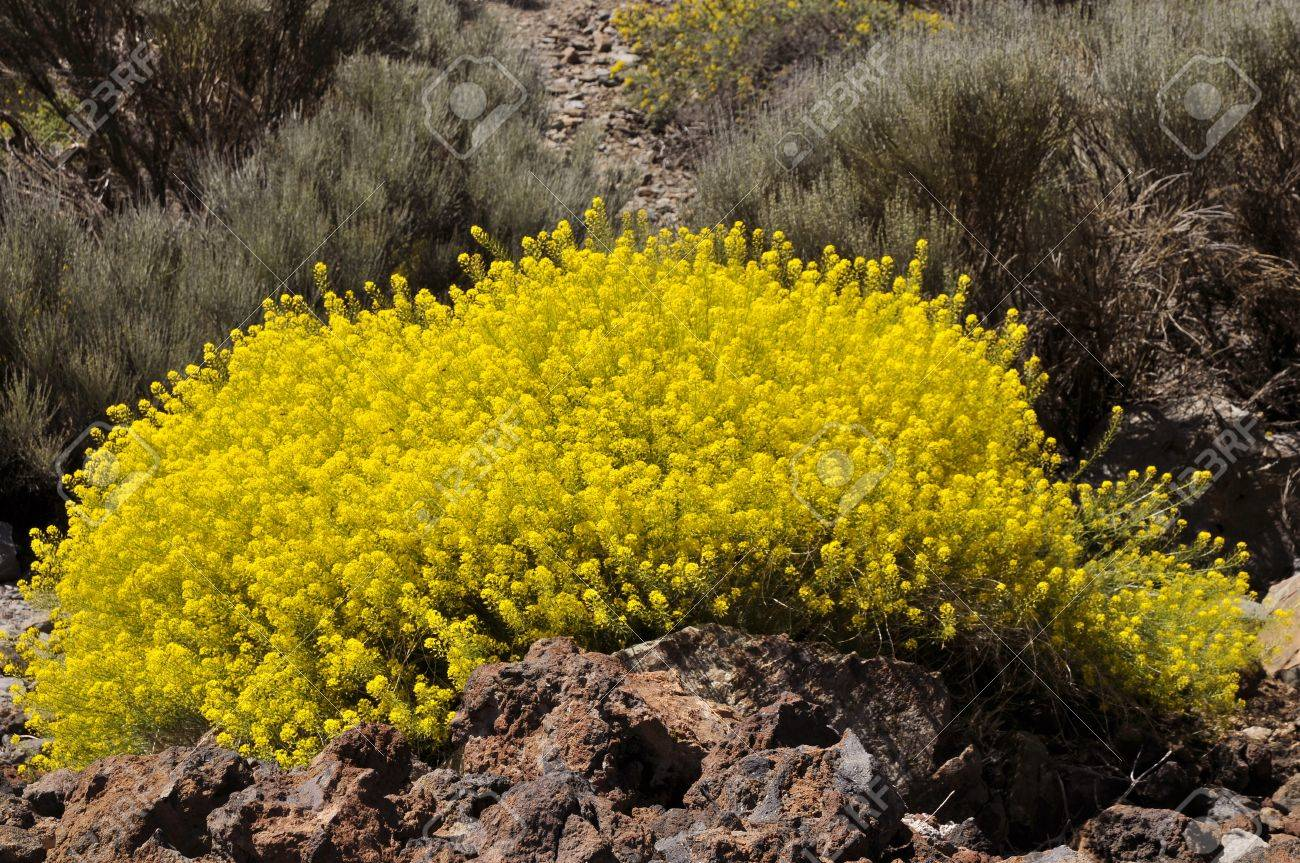 Yellow Flowers Descurainia Bourgeauana In Teide National Park