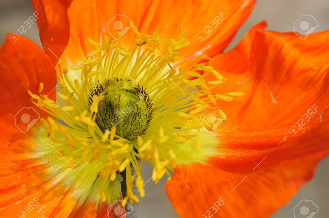 Macro Of Center Orange Papaver Flower With Many Yellow Stamens Stock