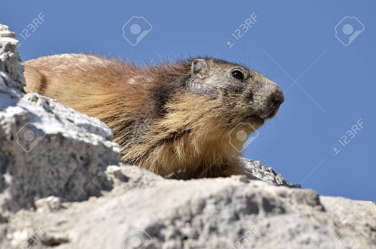 Closeup Alpine marmot (Marmota marmota) on rock on blue sky background,