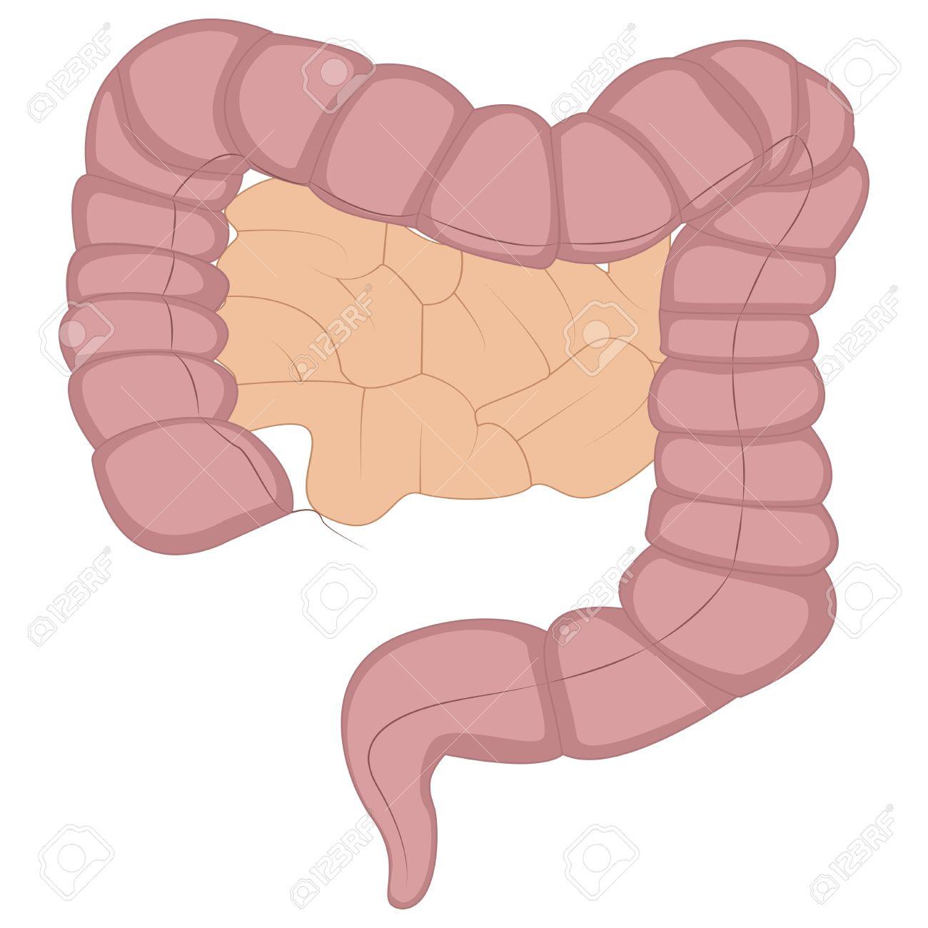 illustration of intestine cartoon royalty free cliparts vectors