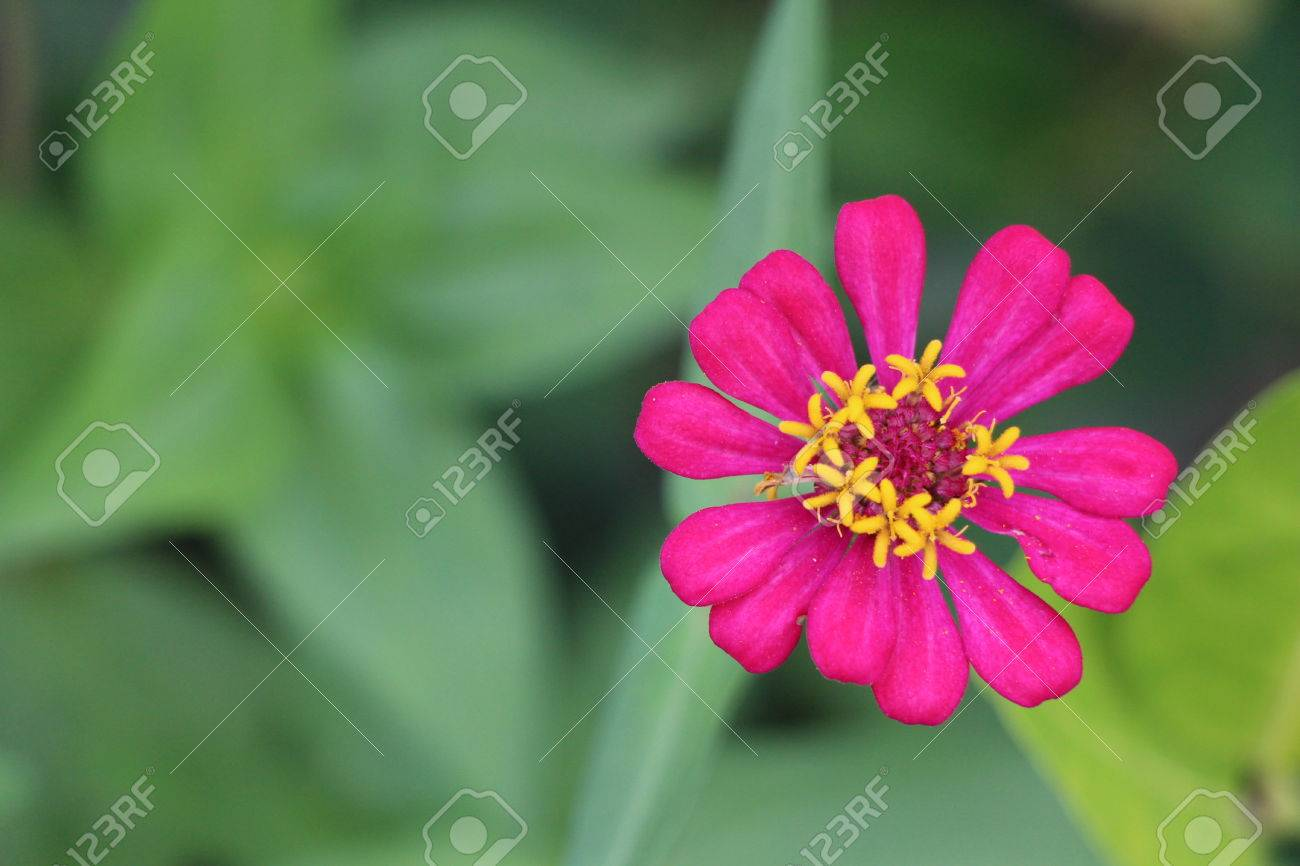 An american plant of the daisy family that is widely cultivated an american plant of the daisy family that is widely cultivated for its bright showy flowers izmirmasajfo