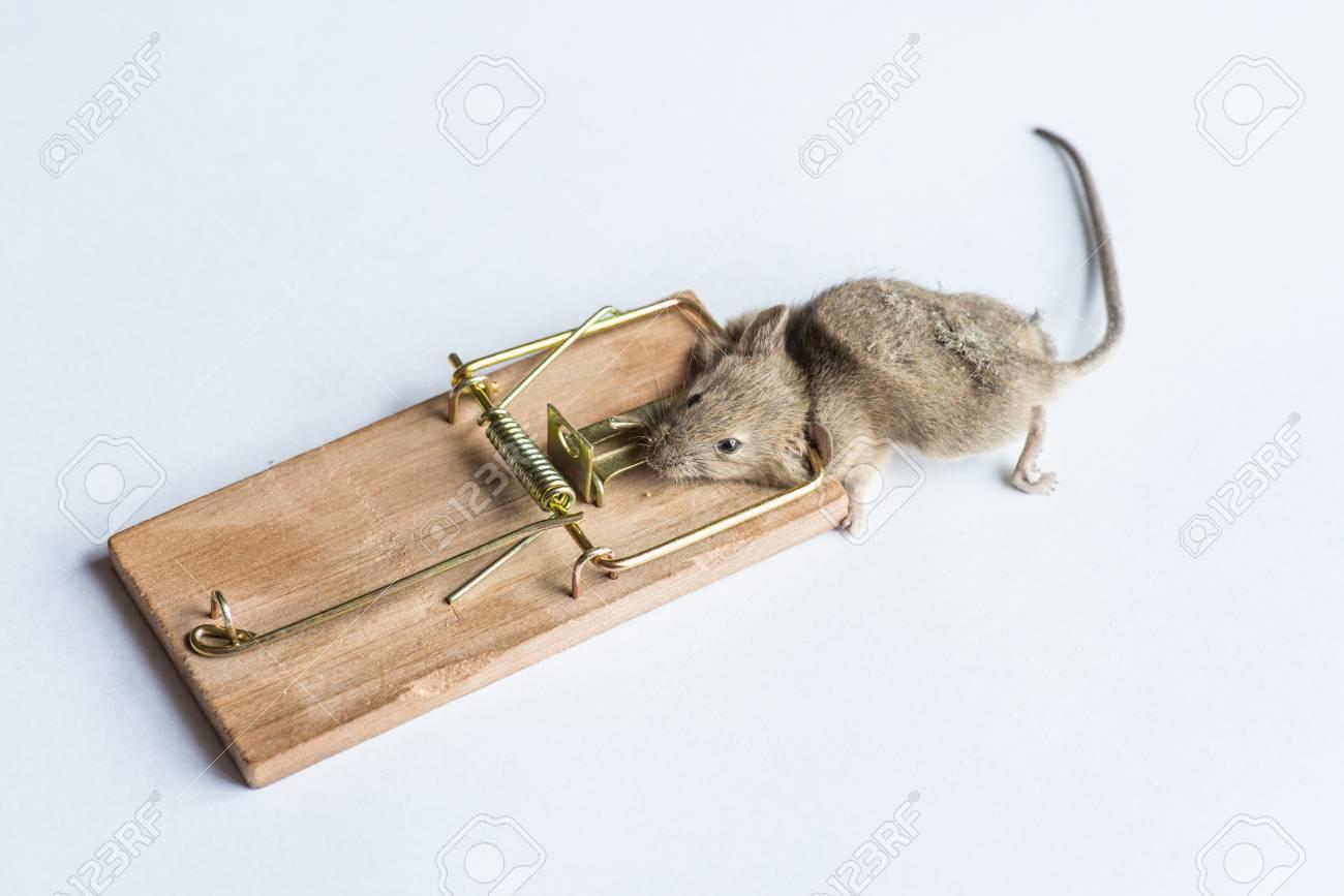 白の区切られた灰色、死んだマウス マウス トラップに引っかかる の ...