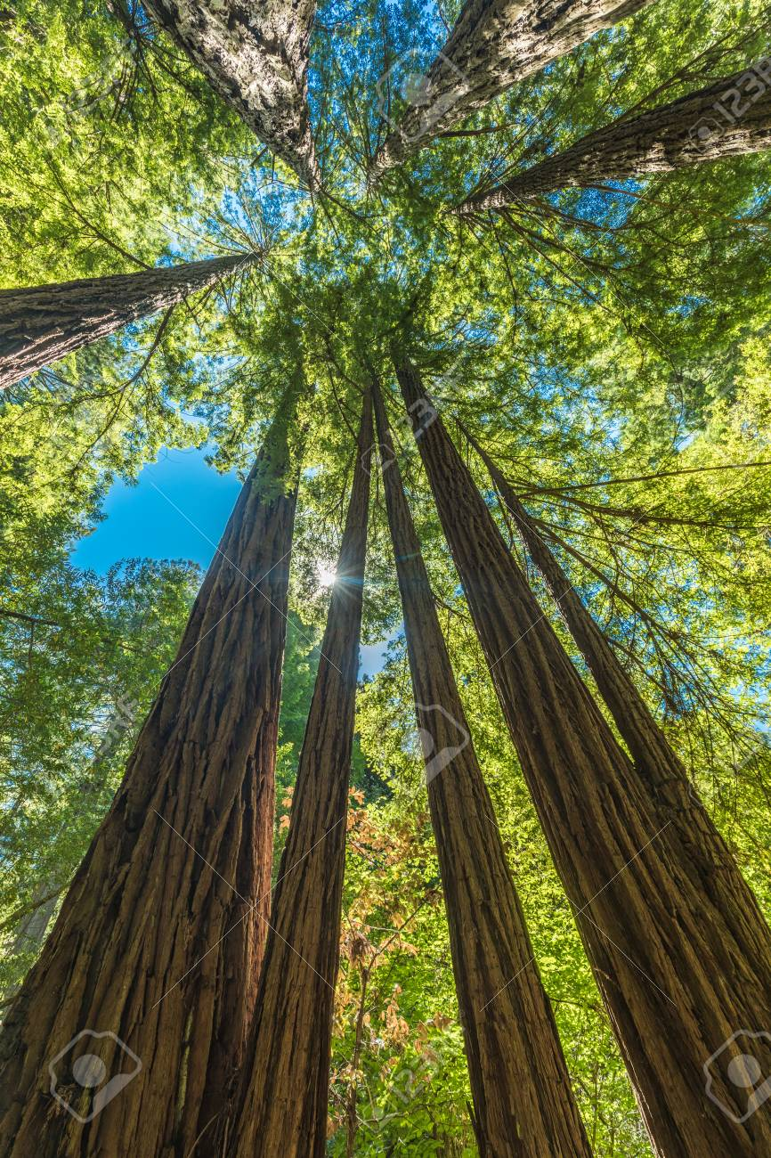 Giant Redwoods In Muir Woods National Monument Near San Francisco
