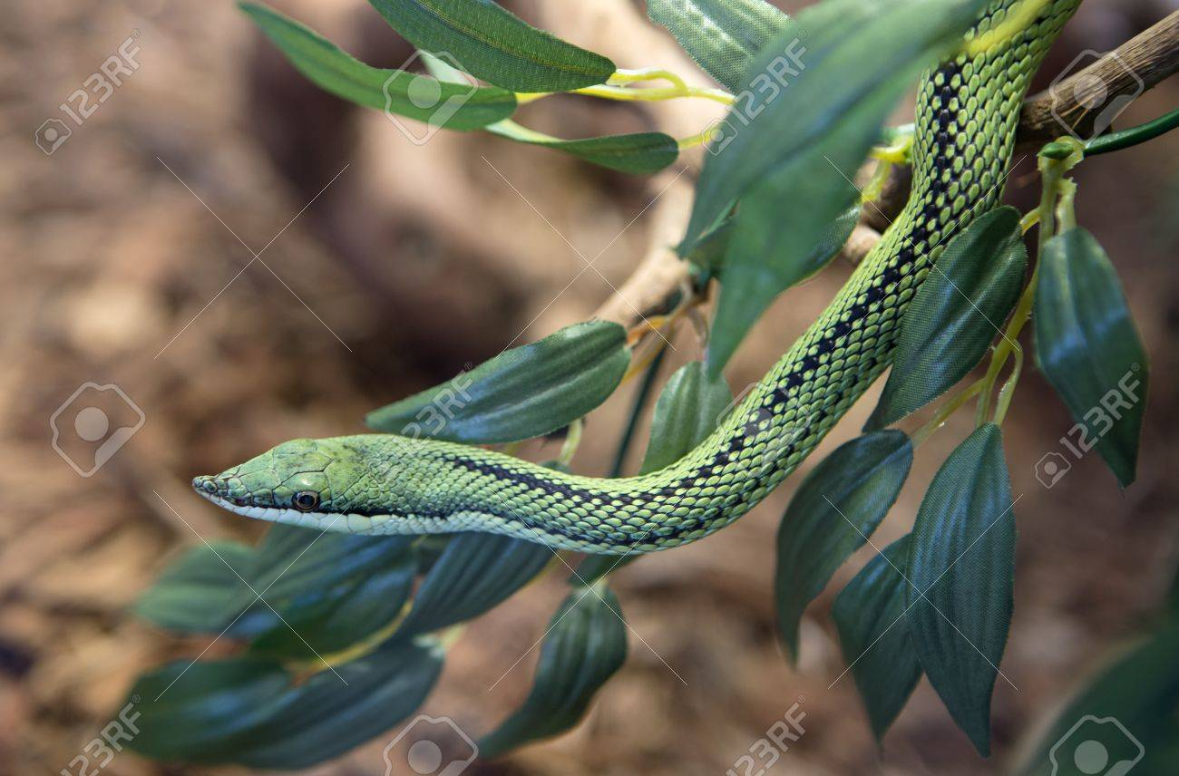 A snake at a terrarium in a zoo, philodryas baroni Stock Photo - 18310929