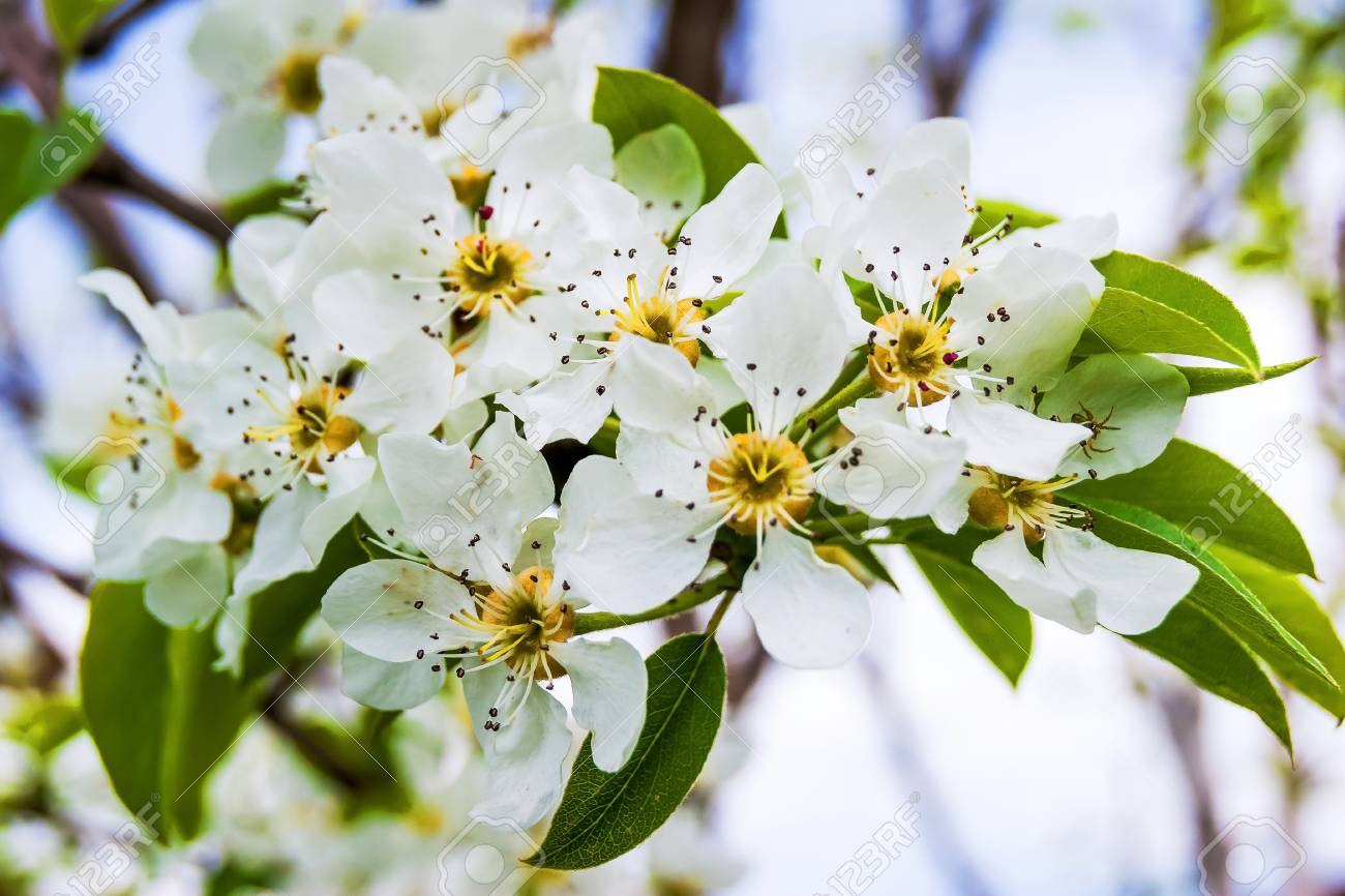 A Pear Tree With White Flowers A Bright Spring Day Stock Photo