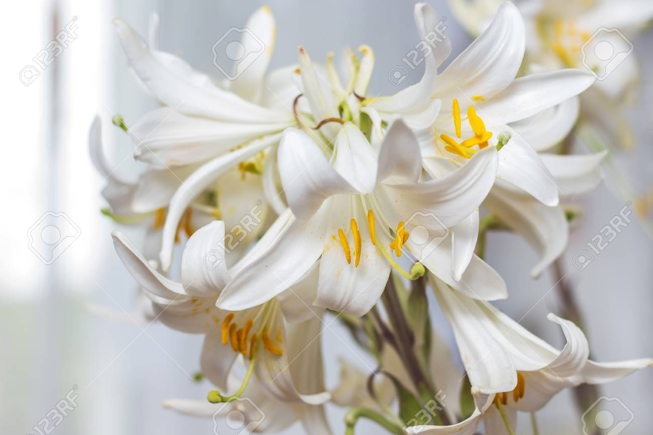 A Bunch Of White Lilies Decorate The Room White Flowers As A