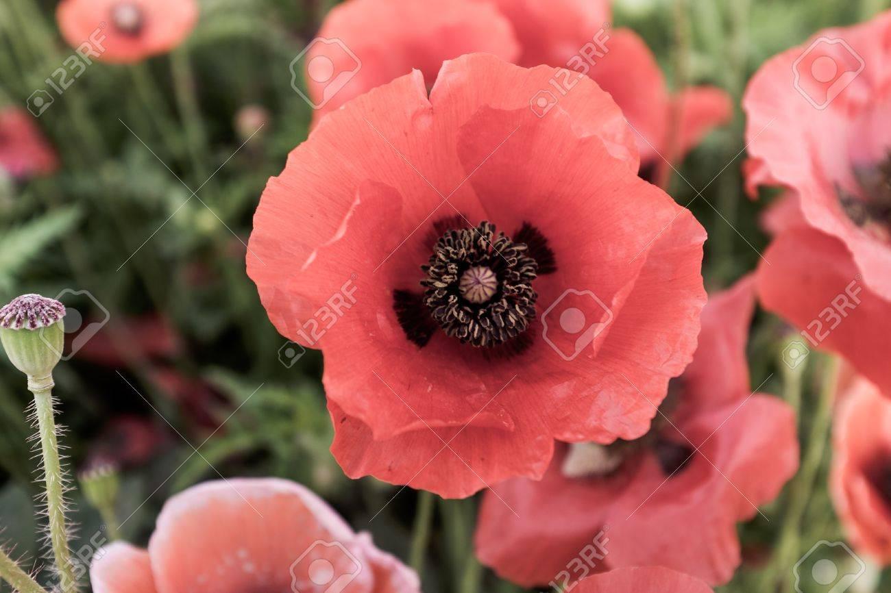 Розовые цветы индии