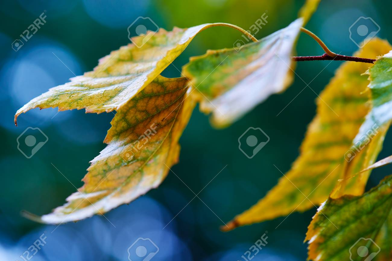 Fall Season, Rainy Day, Selective Focus Golden Birch Leaves Create ...