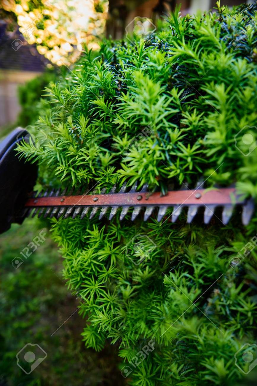 Cutting The Yew Bush Hedge With The Electric Hedge Trimmer Stock