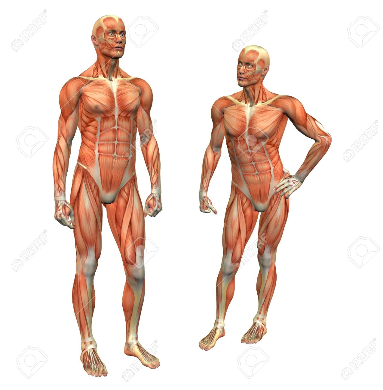 Anatomy Muscle Man Standing W/ Clipping Mask Stock Photo, Picture ...