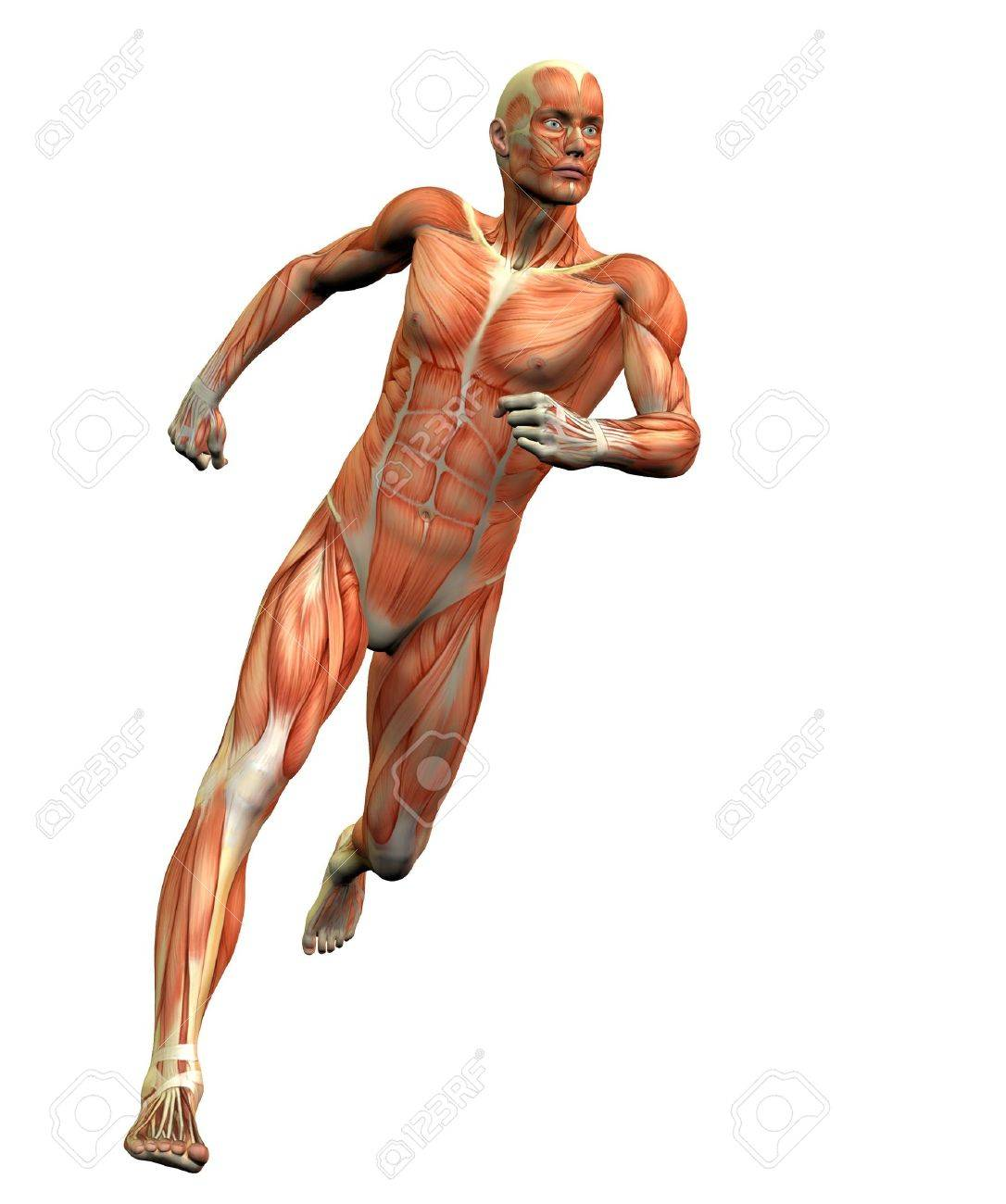 Anatomy Man 3 Stock Photo Picture And Royalty Free Image Image