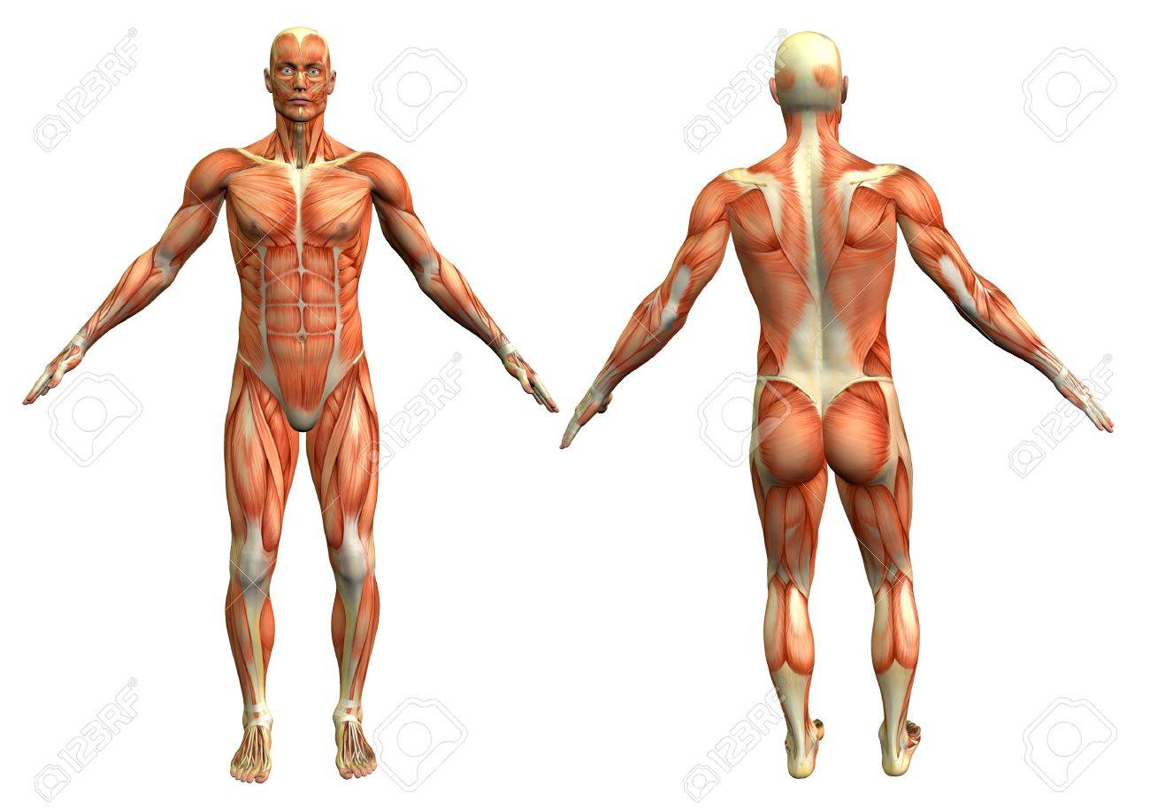 Anatomy Man #4 Stock Photo, Picture And Royalty Free Image. Image ...