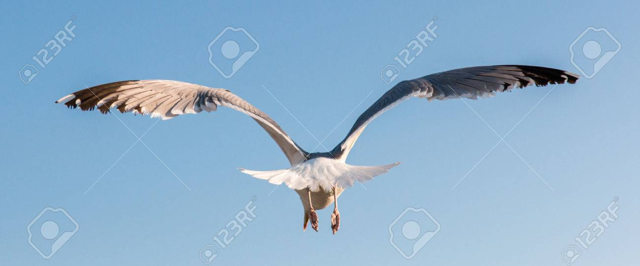 36361075-seagull-flying-away-in-a-clear-