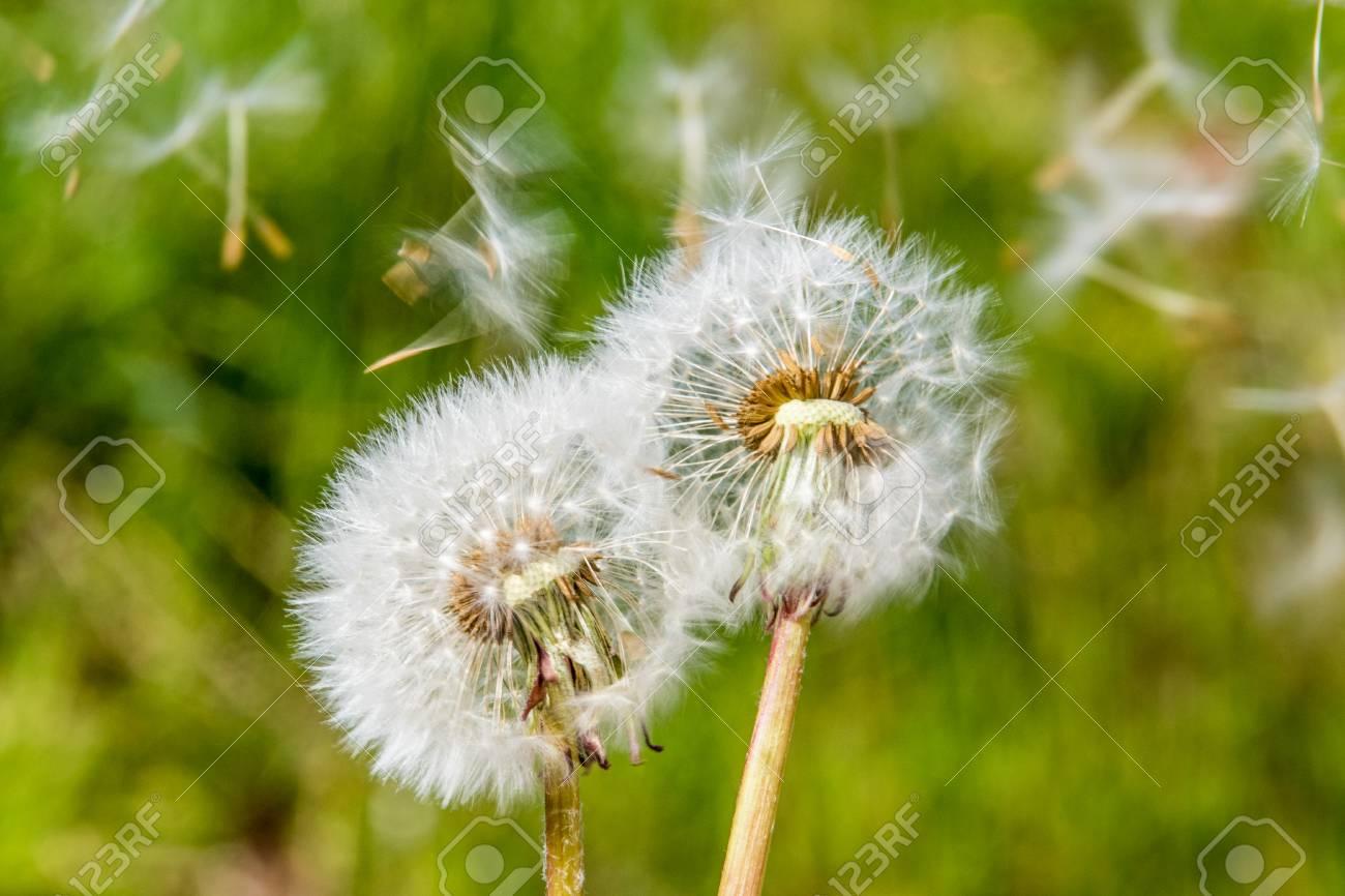 blowball dandelion seed head flower blossom white green spring