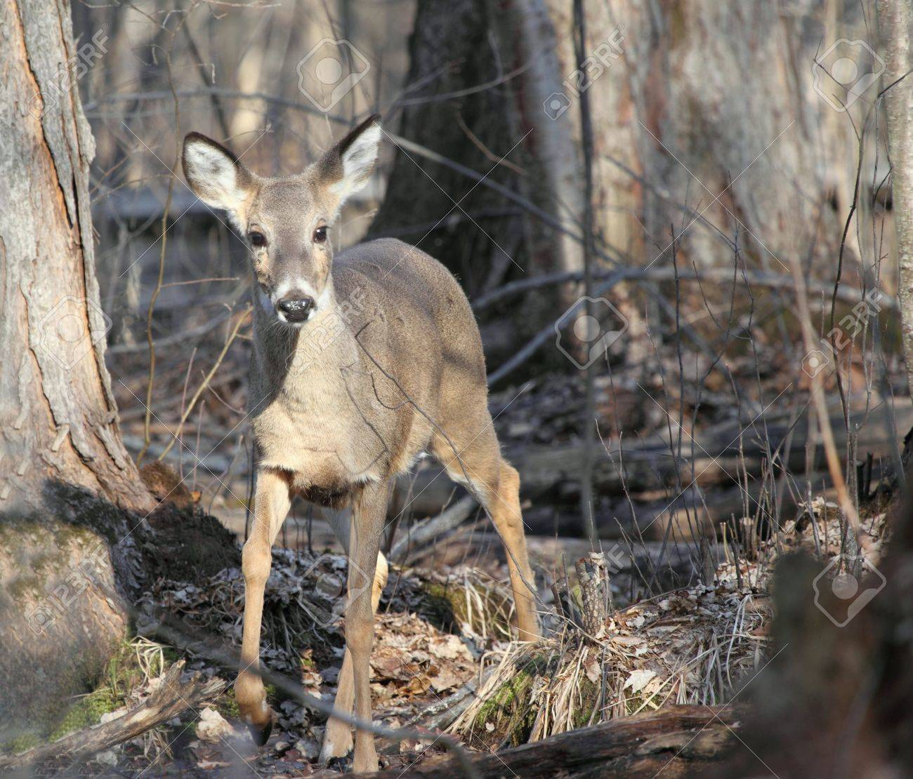 Up close photo shot of a whitetail deer doe in the woods at the end of winter. Stock Photo - 6714886