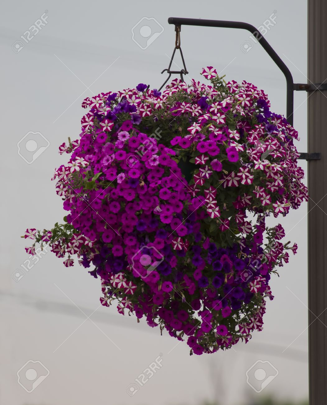 Hanging basket of purple flowers with pink in the center on a hanging basket of purple flowers with pink in the center on a city street stock mightylinksfo