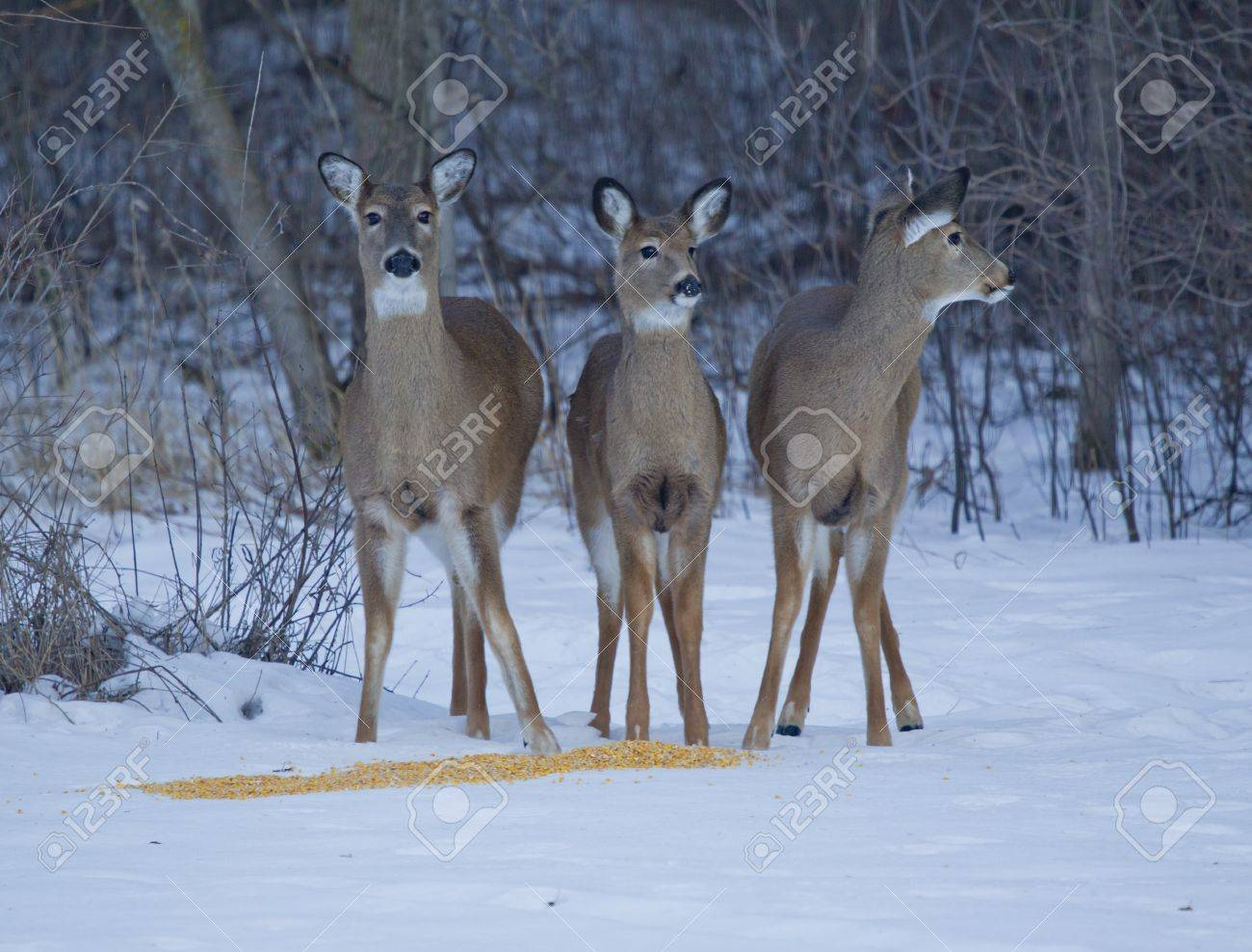 Three Whitetail Deer, doe and two fawns, on the alert while eating corn in the winter. Stock Photo - 17455775