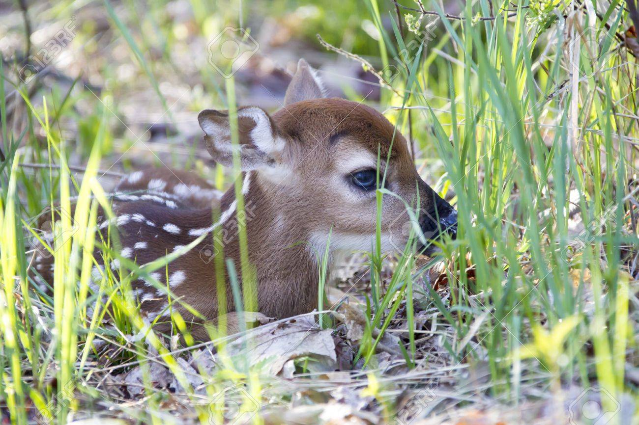 A tiny whitetail deer fawn only a couple of days old hiding in the grass on the edge of a forest. - 20370851