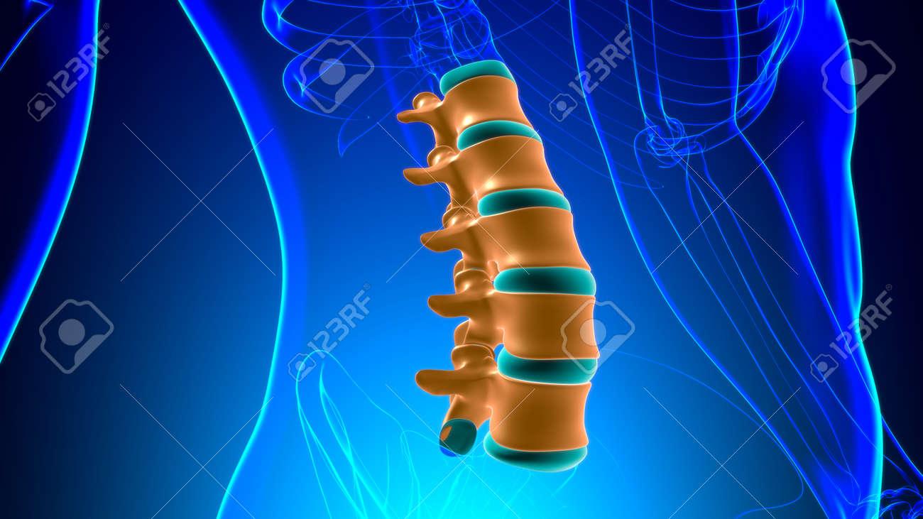 Human Skeleton Vertebral Column Lumbar Vertebrae Anatomy 3D Illustration - 156957793