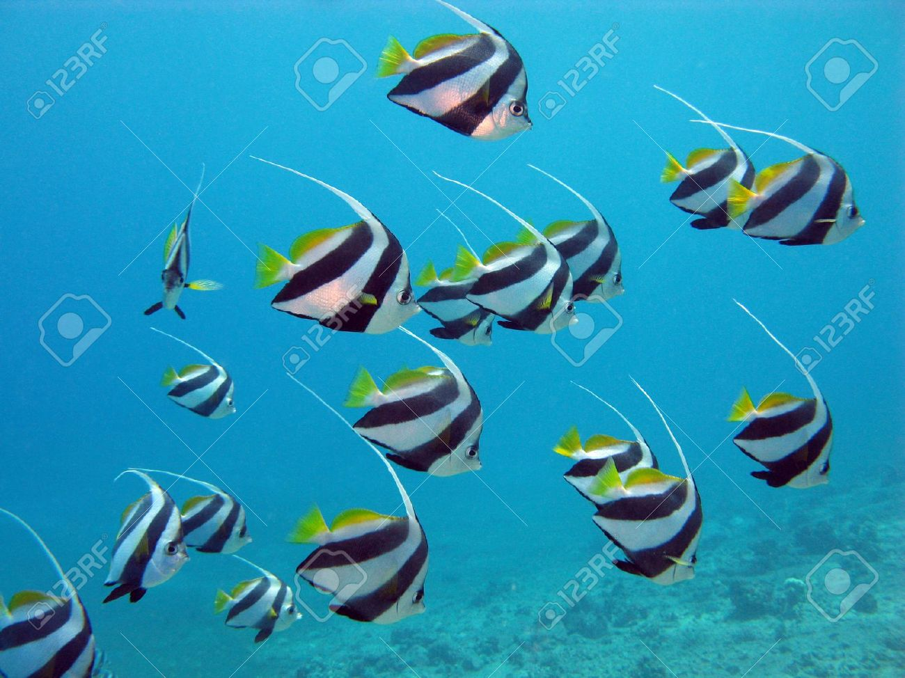 red sea with butterflyfishes Stock Photo - 14607319