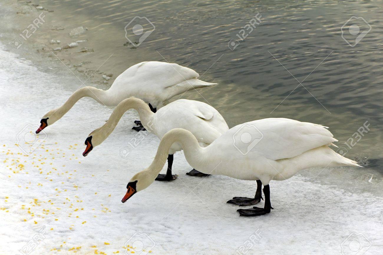 3 羽の白鳥を食べるが冬の大通り...