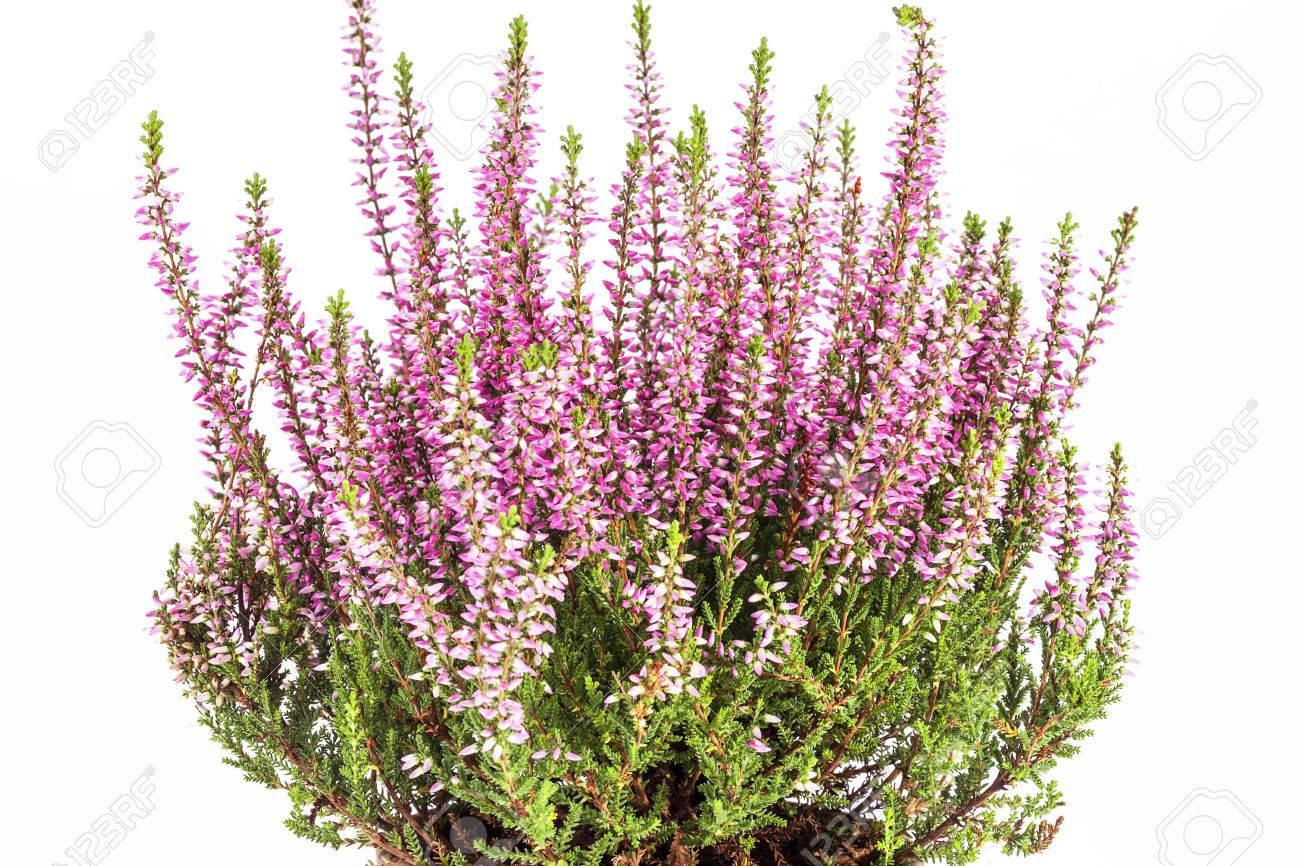Beliebt Bevorzugt Flowers Of Pink Calluna Vulgaris In Pot On White Background. Stock &MA_68
