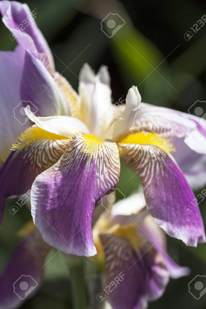 Iris Purple Yellow Flowers Blooming In A Garden Close Up