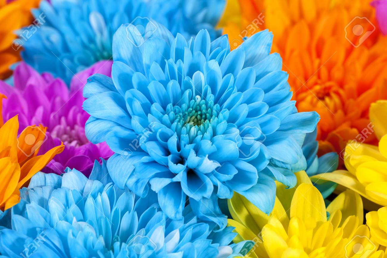 Background Of Colorful Chrysanthemum Flowers Blue Pink Yellow